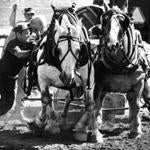September 15, 1979: Mickey Pendleton of Lisbon, CT urged his draft team on in the weight pull. The competition among the draft horses went to the team who could pull the most weight the furthest. Pendelton's horse Ready weighed 1485 pounds and Daniel weighed 1490. They finished in third place as they pulled 10,350 pounds for 41 inches.
